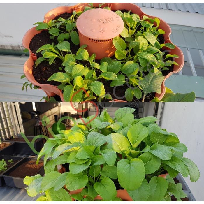 ảnh khách trồng rau 6
