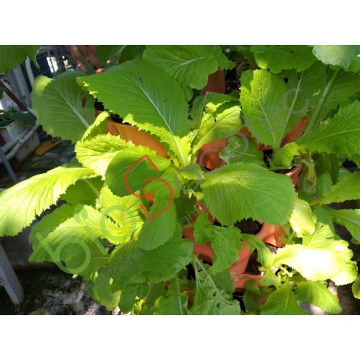 ảnh khách trồng rau 9