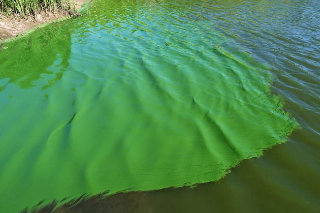 tảo trong ao nuôi tôm