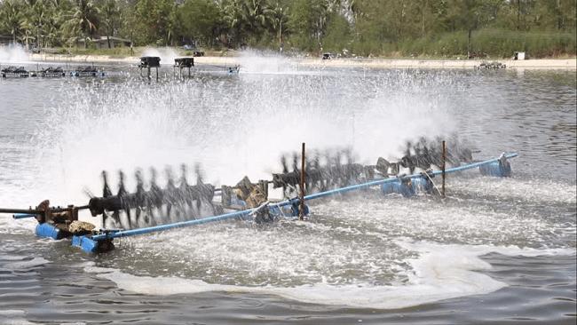 H2S – sát thủ thầm lặng trong ao nuôi tôm