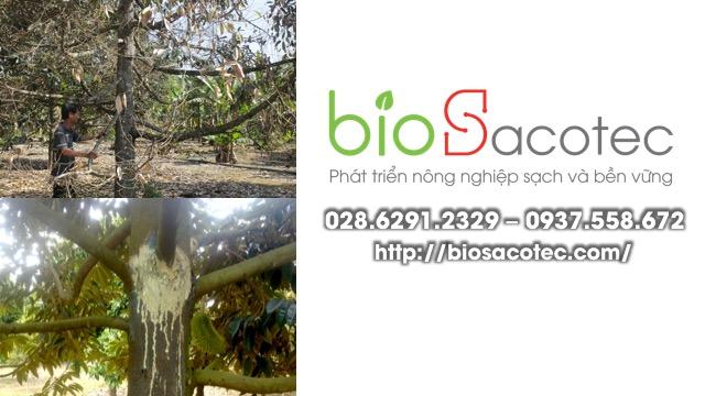 Biểu hiện bệnh xì mủ, chảy nhựa trên cây sầu riêng