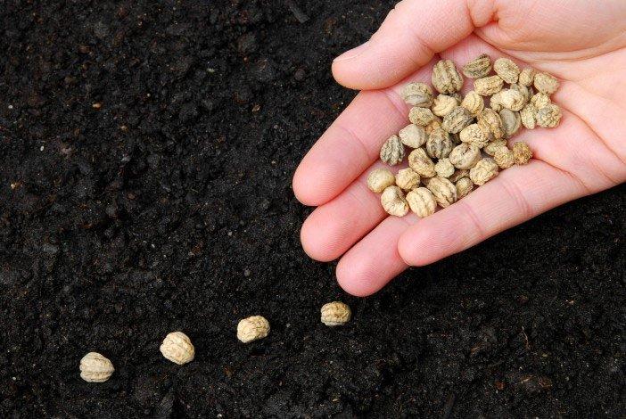 Gieo hạt giống trồng rau tại nhà