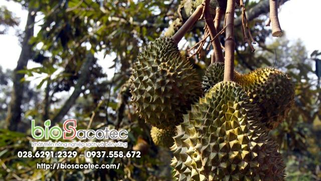 dinh dưỡng cho cây sầu riêng