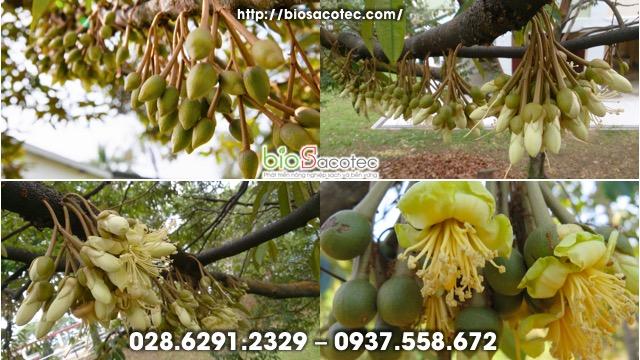 xử lý ra hoa ở cây sầu riêng
