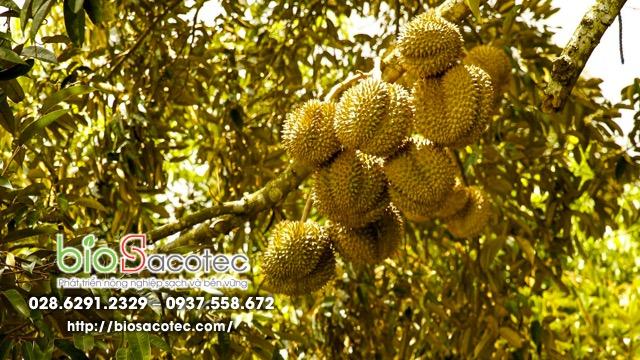 bệnh xì mủ trên cây sầu riêng