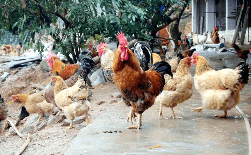 chăn nuôi gà hữu cơ