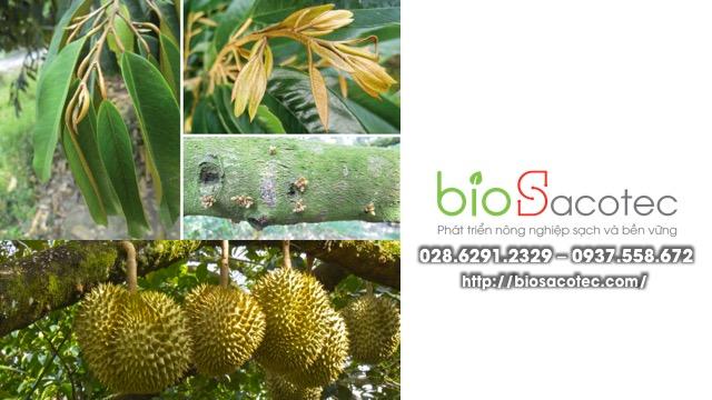 cây sầu riêng bị đốm lá và vàng lá