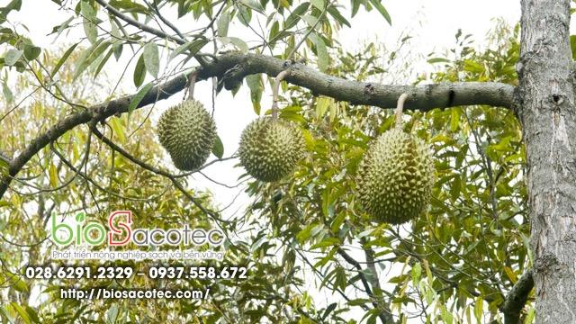 tỉa cành tạo dáng cây sầu riêng