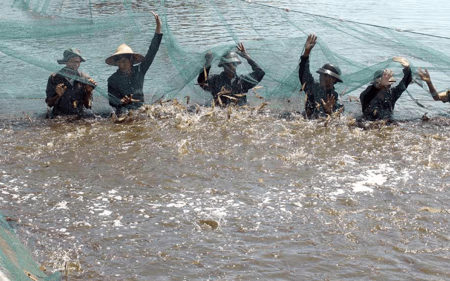 Khi kéo lưới để bắt tôm, một số tôm sẽ bị sốc