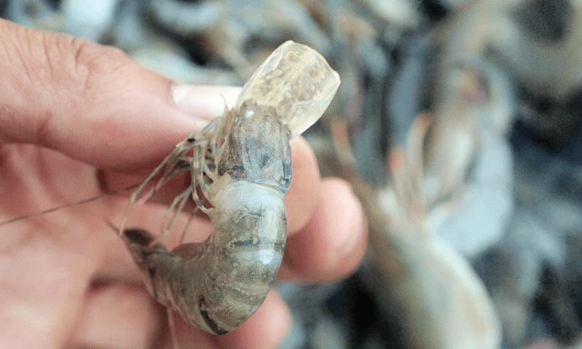 Vỏ tôm có nhiều đốm trắng ở giáp đầu ngực, đốt bụng thứ 5, 6 và lan toàn thân