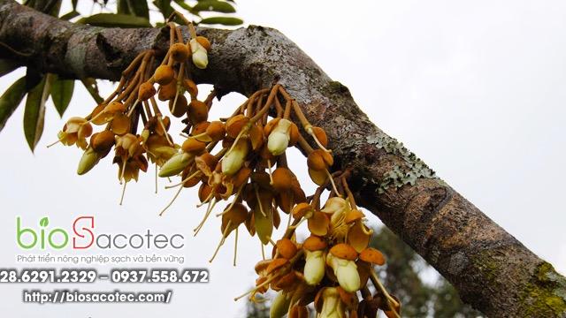 Phòng trừ bệnh xì mủ trên cây sầu riêng