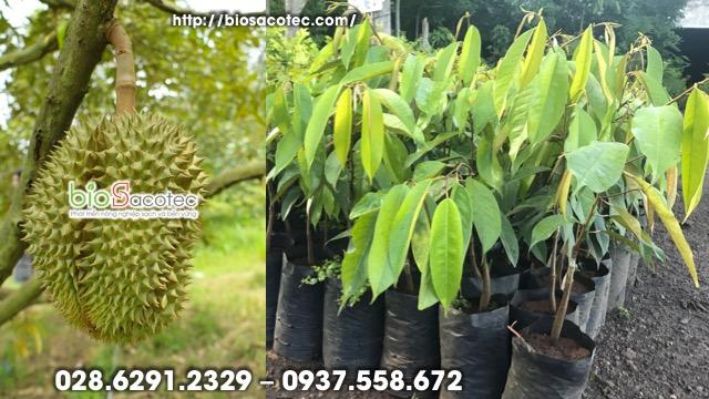 trồng cây sầu riêng như thế nào