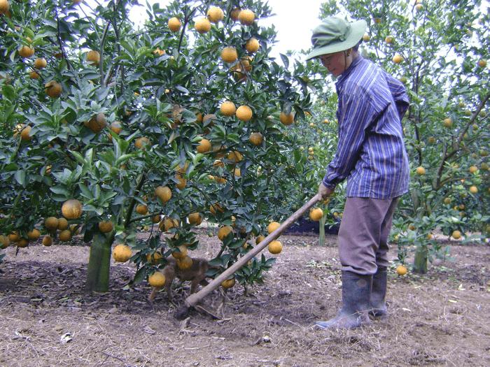 Bón phân gà hữu cơ cho cây cam giai đoạn kinh doanh