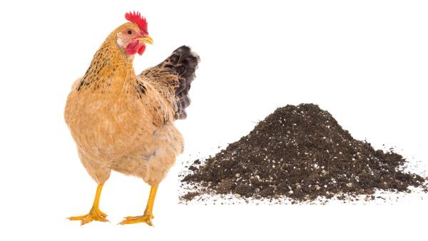cách ủ phân gà