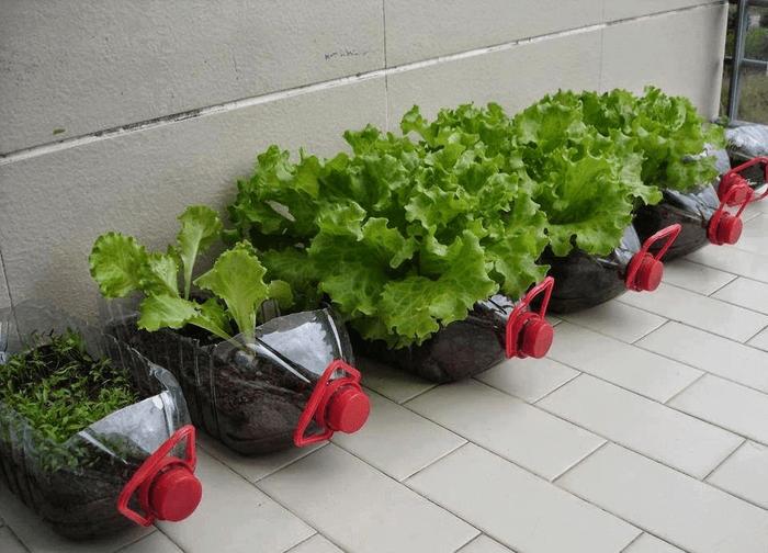 Chai nhựa lớn trồng rau