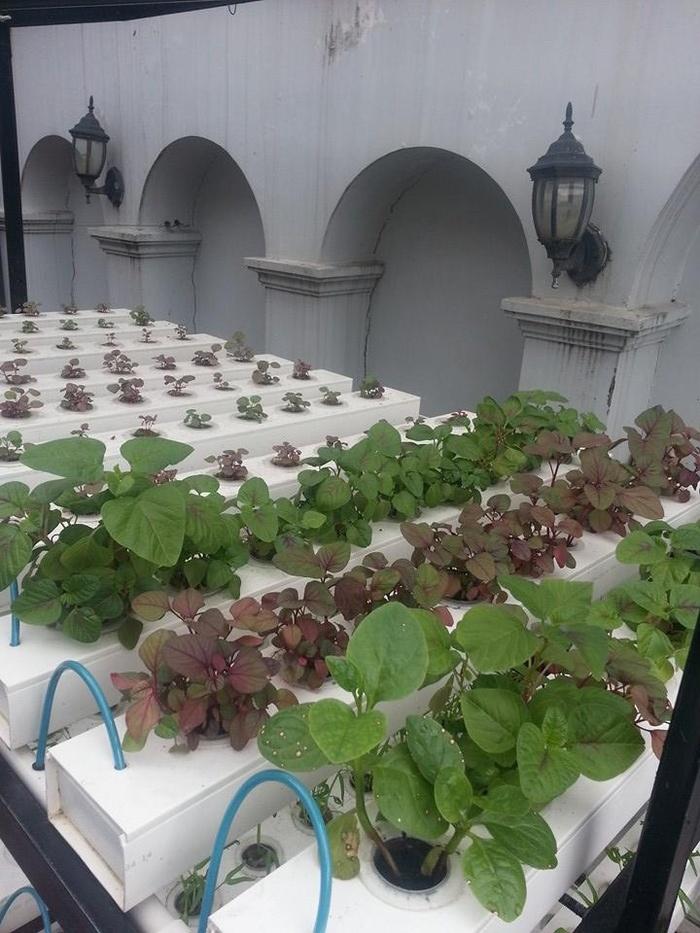 Lê Minh Hương trồng rau trên sân thượng