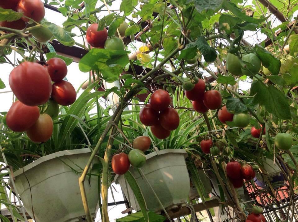 cô giáo ở Hà Nội trồng rau trên sân thượng