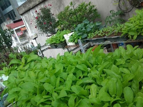 Vườn rau trên nóc nhà của chàng kỹ sư