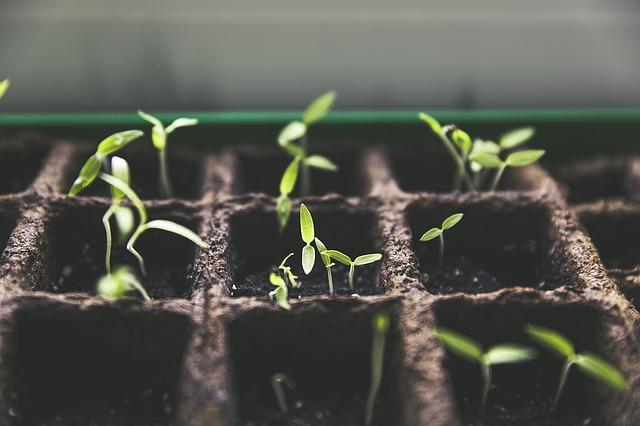 Gieo trồng hạt giống rau sạch