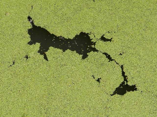 kiểm soát tảo trong ao nuôi tôm thẻ chân trắng