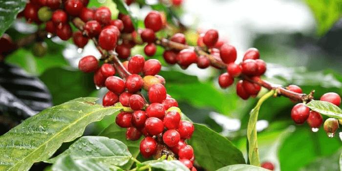 Phân gà xử lý giúp hạn chế hiện tượng 1 nhân trên cây cà phê