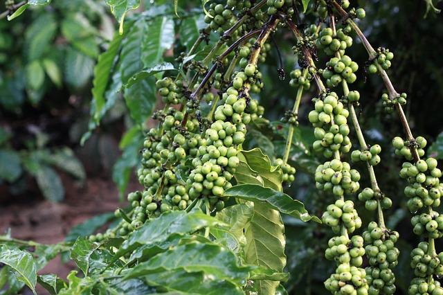 Phương pháp bón phân cho cây cà phê