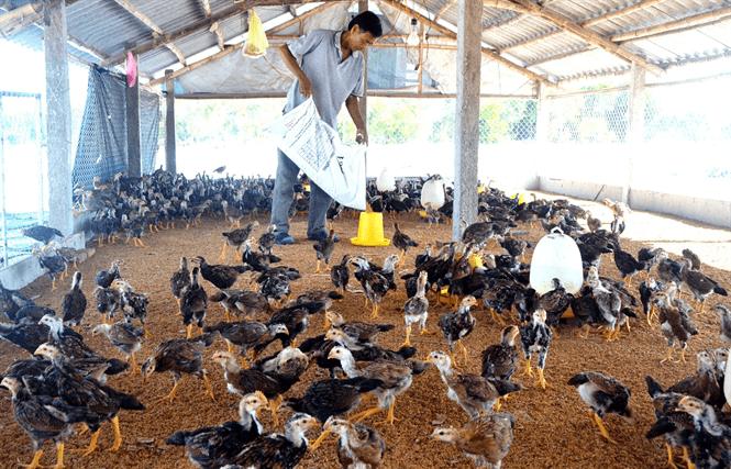xử lý mùi hôi trong trại chăn nuôi gà