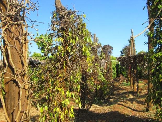 Vườn tiêu khô héo