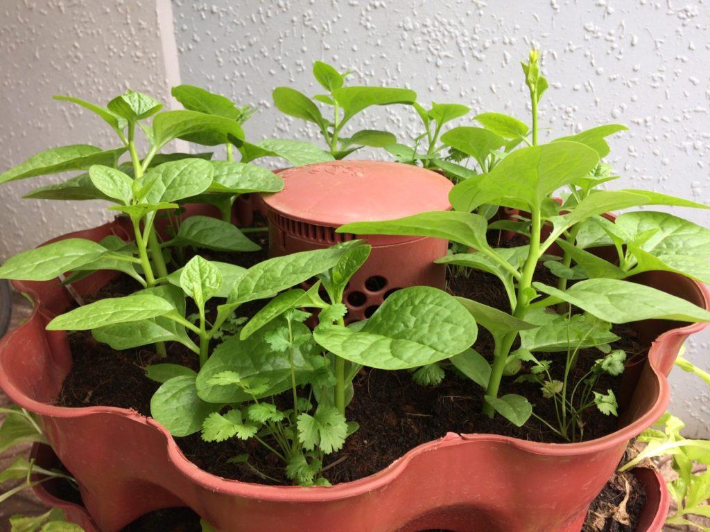 xử lý đất trồng rau trong tháp rau