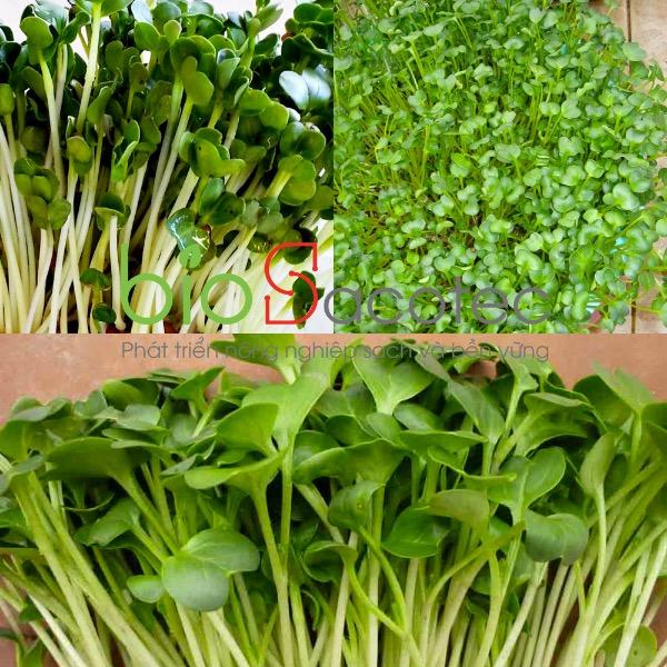 Mầm củ cải trắng