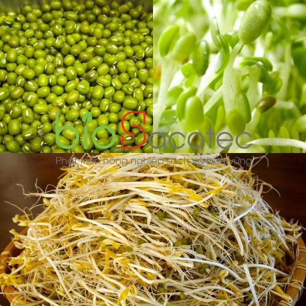 Mầm đậu xanh (Giá đỗ)