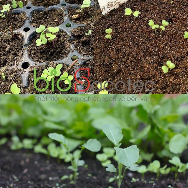 Mầm Bông cải xanh Broccoli