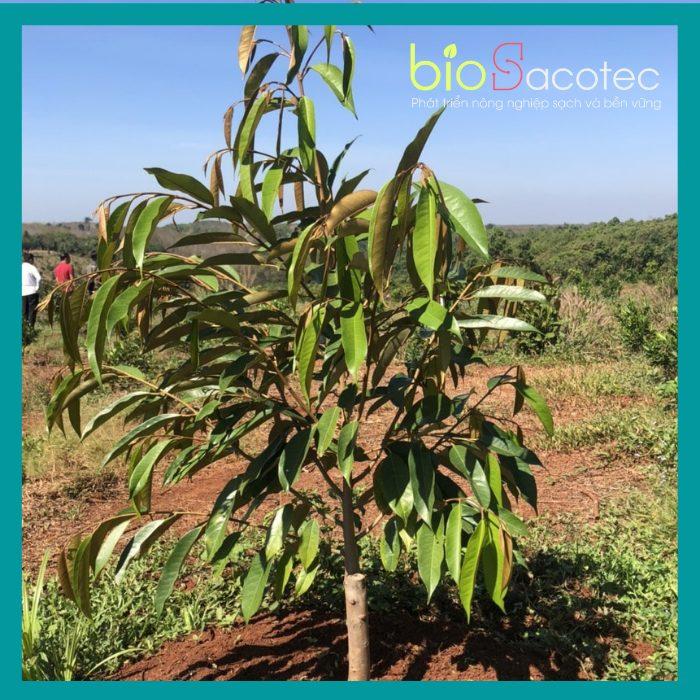 Điều kiện ngoại cảnh giúp cây sầu riêng con phát triển tốt