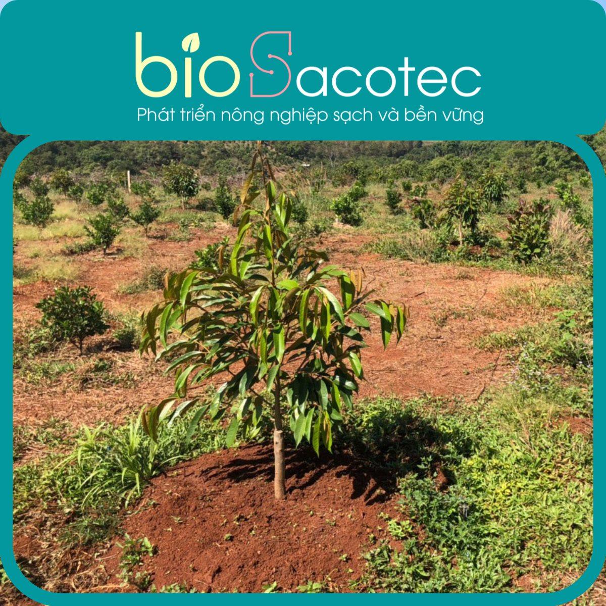 Kỹ thuật chăm sóc sầu riêng con mới trồng