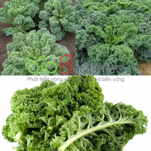 Cải Kale (Cải xoăn xanh)