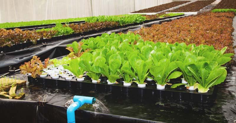 hệ thống trồng rau Aquaponics