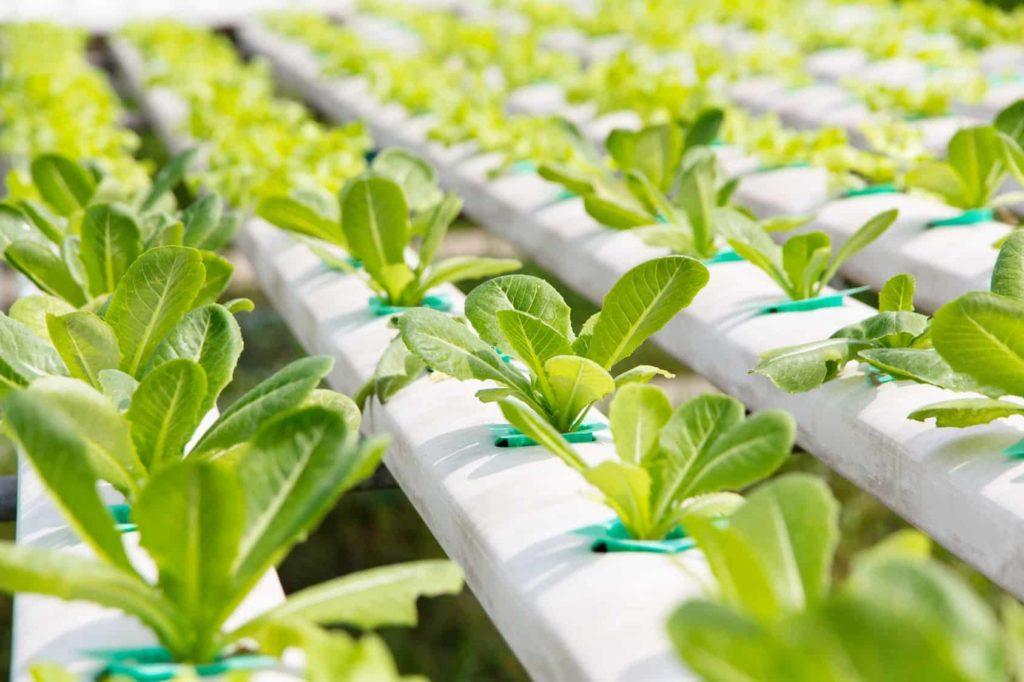 hệ thống vườn rau thủy canh