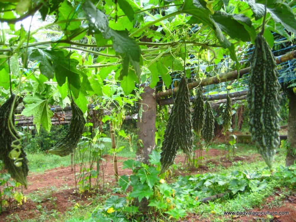 hướng dẫn trồng các loại dây leo