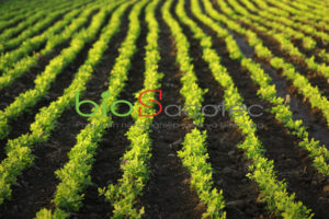 indian ground nuts field 75648 1091 1