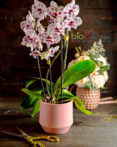 phong lan 1