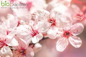 apricot tree spring with beautiful flowers gardening selective focus 99293 727