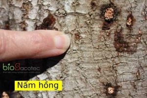 benh nam hong tren cay sau rieng optimized