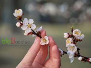 branch blossoming apricots hand 200040 730