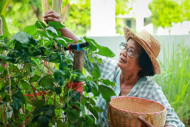 asian elderly woman grow organic vegetables eat home she is putting vegetables basket make food food security concept during coronavirus pandemic elderly gardening 42128 802